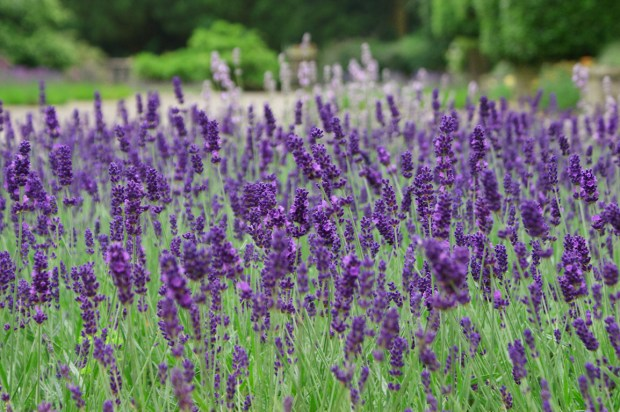 photos-of-lavender-flowers1